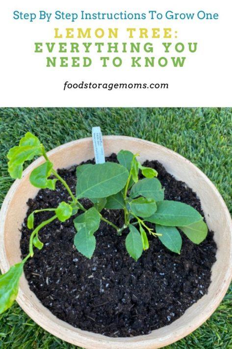 Lemon Tree: Everything You Need To Know