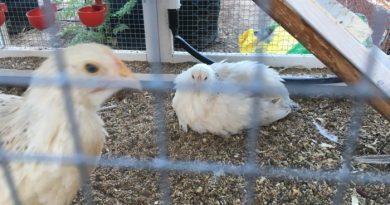 Chickens Raymond White