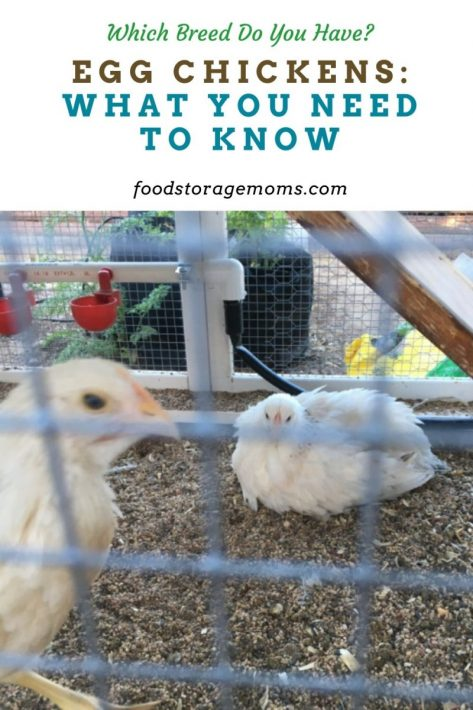 Egg Chickens: What You Need to Know