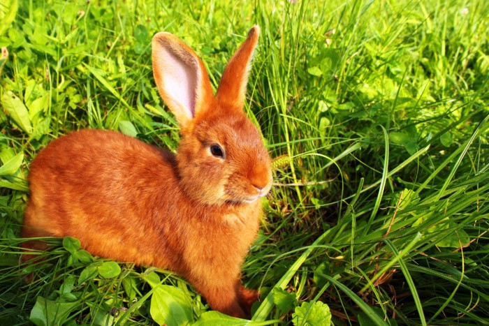 Red New Zealand Rabbit