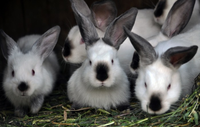 Meat Rabbits: Tips for Raising Them