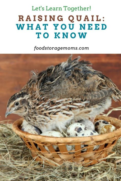 Raising Quail: What You Need to Know