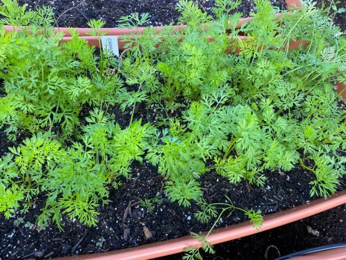 Zanahorias recién cultivadas