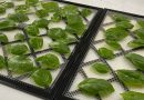 How to Dehydrate Basil and Freeze It
