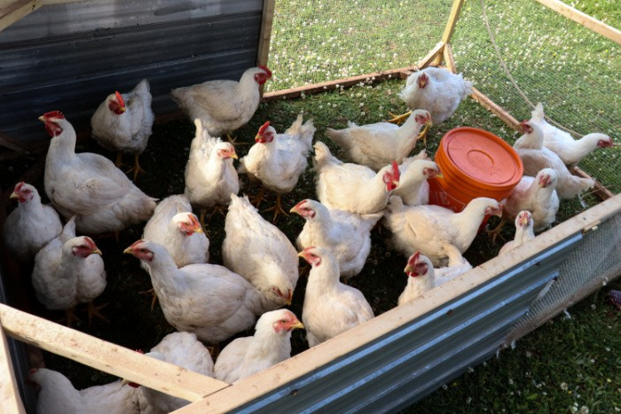 Pollos de carne cruzada de Cornualles