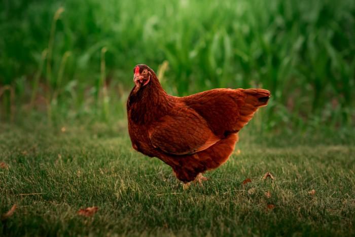 Pollos de carne castaña