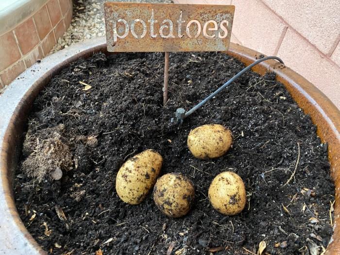 Patatas recién cosechadas