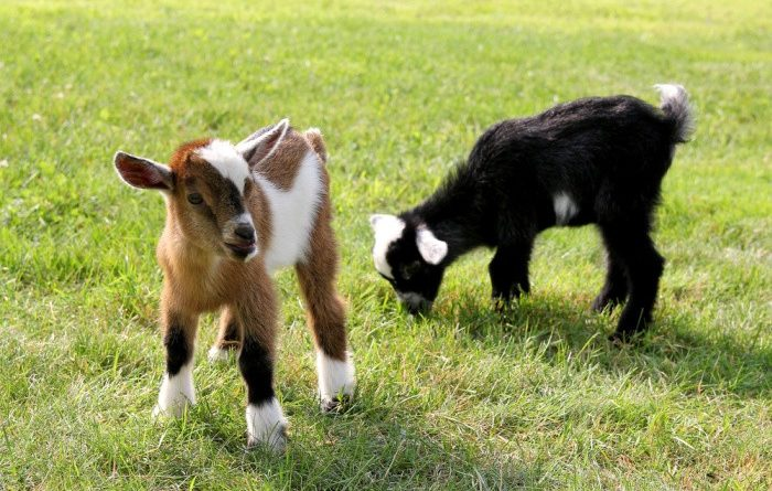 Raising Goats: What You Need to Know