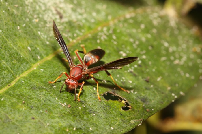 Red Paper Wasps